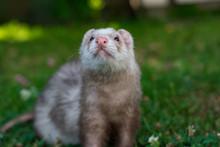 Ferret On Green Grass Background