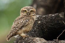 Spotted Owlet From Chennai Tam...