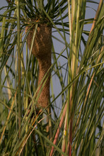 Baya Weaver Nest Between The Bushes