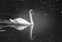 Beautiful Swan Swimming On Lake, Black And White With Orange Beak