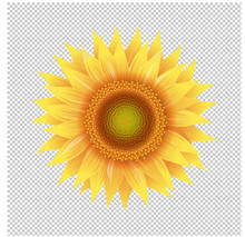 Yellow Sunflower With Transparent Background