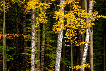 Panel Szklany Podświetlane Brzoza Autumn colors n forest grove.