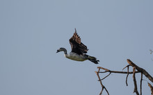 Comb Duck Taking Off From Tree...