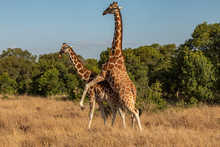 Two Reticulated Giraffes Matin...