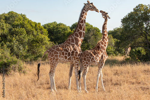 Photo A Kiss Between Female and Male Giraffes, Ol Pejeta Conservancy, Kenya, Africa