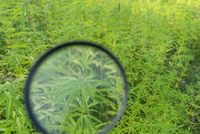 Hemp Plants Through Magnifying...