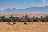 Small Herd of Hartebeest at the Base of Mount Kenya, Africa