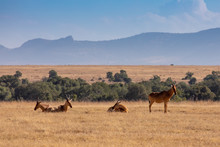 Small Herd Of Hartebeest At Th...