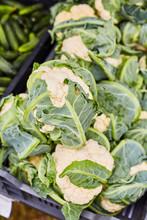 Brassica Oleracea Cabbage. Agr...