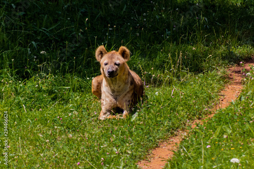 Fotomural a hyena resting in a green meadow