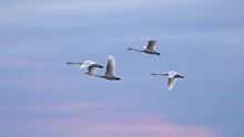 Slow Motion Shot Of Swans Flyi...