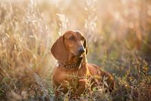 Wiener Dog Portrait On Autumn ...