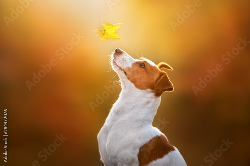 Foto  Jack russel close up portrait with autumn leaves at sunlight