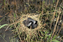 Coot Bird With Baby On The Nest