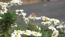 Two Common Buckeye Butterflies In Slow Motion