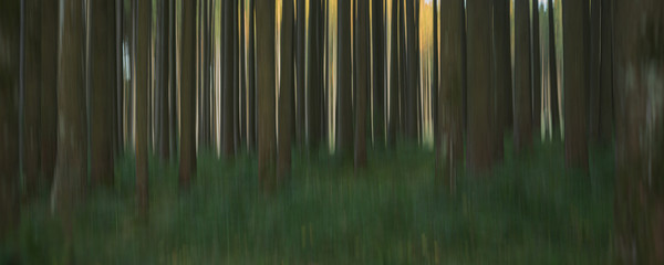 Abstract nature background in the forest in the sunrise or sunset. Blurred trees effect