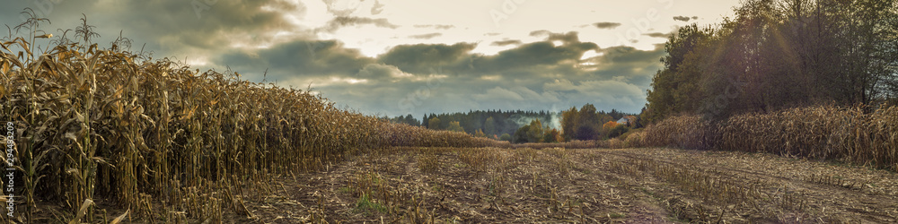 Fototapeta Autumn agricultural landscape. wide panoramic view of a ripened cornfield with stubble in the center and forest in the distance with a dramatic cloudy sky with a glow and sunlight