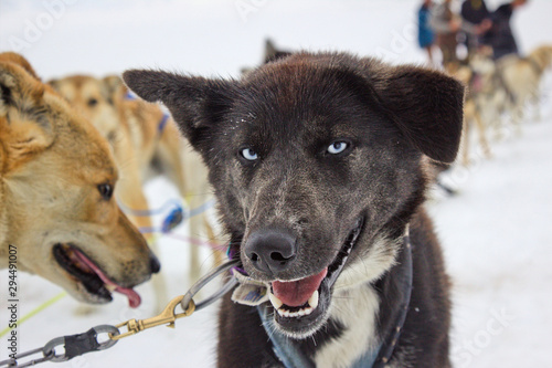 Almond the Sled Dog