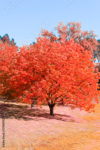 Poster Lichtroze Lonely autumn tree with red leaves in the forest
