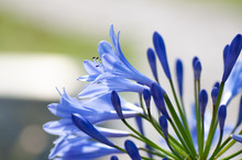 Close Up Of Agapanthus In Bloom In A Sunny Day