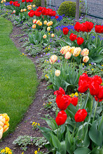 Red Tulips Planted With Yellow...