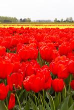 Tulip Fields In Farmland With ...