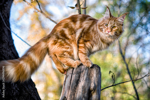 Photo Maine coon kitten sitting on a tree in forest, park on summer sunny day