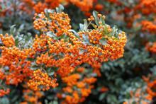 Autumn Bunch Of Berries. Orange Autumn Berries Of Pyracantha With Green Leaves On A Bush. Hippophae Rhamnoides, Hippophae, Sea Buckthorn. Place For Text.