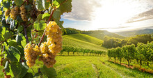 Vineyards With Grapevine And W...