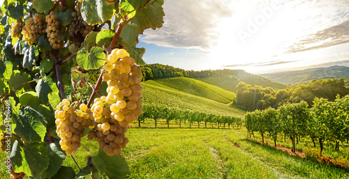 Fotobehang Wijngaard Vineyards with grapevine and winery along wine road in the evening sun, Europe