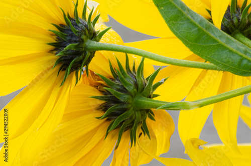 644-90 Ashy Sunflowers Backsides Canvas Print
