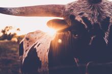 Long Horn, Cute Animals, Cow L...