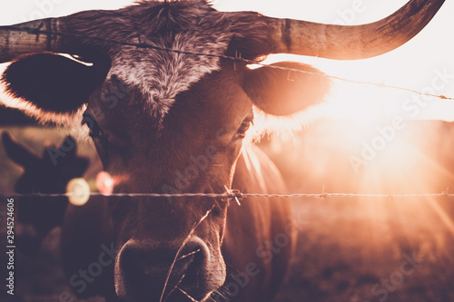 Foto auf Gartenposter Baume long horn, cute animals, cow lick, cute cow, texas, texas cattle, sun flares, sun, moo, steer, calf, beautiful animals, ranch, ranch land, cow, animal, farm, cattle, bull, agriculture, mammal, livesto