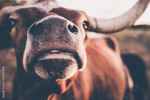 long horn, cute animals, cow lick, cute cow, texas, texas cattle, sun flares, sun, moo, steer, calf, beautiful animals, ranch, ranch land, cow, animal, farm, cattle, bull, agriculture, mammal, livesto