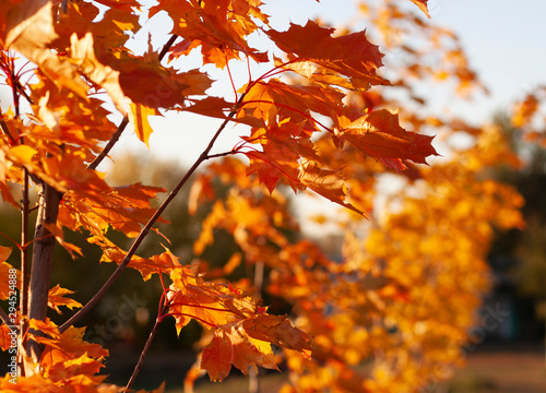 Campagne Red maple leaves in autumn park