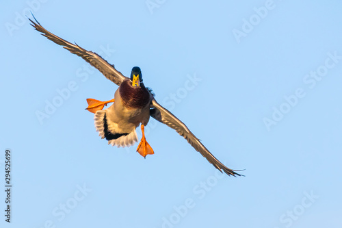 A Drake Mallard with Feet Down Comes in for a Landing Wallpaper Mural