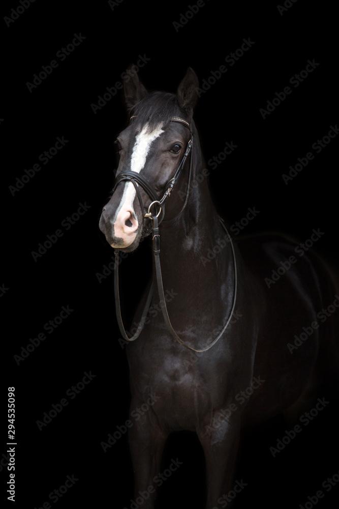 Fototapeta Horse portrait in bridle isolated on black background