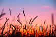 canvas print picture - Sunset over the field. Serenity rural landscape. Wild grass against a sunset sky in autumn