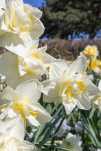 White Daffodils On A Sunny Day. Selective Focus