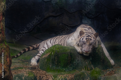 Fototapeta  The white tiger stared at the rock.