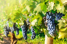 Wine Grapes At A Vineyard Righ...