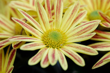 Yellow Gazania Or Treasure Flo...