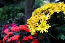 Yellow Gazania Or Treasure Flo...