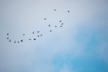 Aythya Fuligula Flock Of Birds...