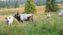 Ankole Watusi Bull With Big Ho...