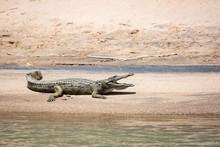 Crocodile Sunbathing At A Sandy Bank At Kunene River, Epupa, Namibia