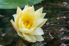 Yellow Water Lily (nymphaea) Blooming In A Lake