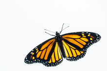 Living Female Monarch Butterfl...