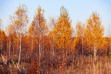 Panel Szklany Brzoza Title: Autumn in a birch forest.