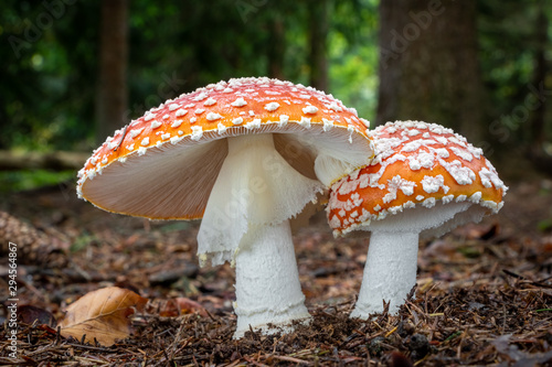Amazing Amanita muscaria in forest - poisonous toadstool Wallpaper Mural